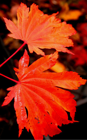 Acer japonicum ' Emmett's Pumpkin ' Fullmoon Maple Tree