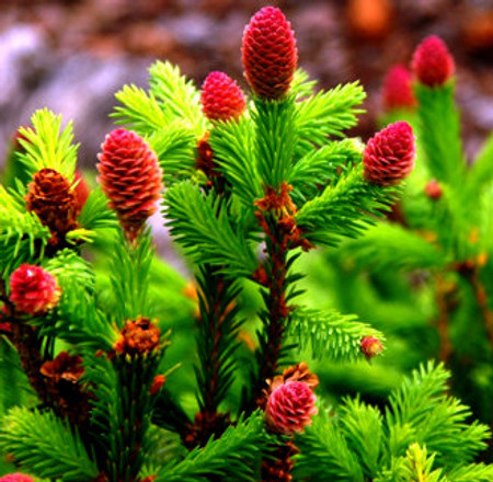 Picea abies Pusch Dwarf Norway Spruce