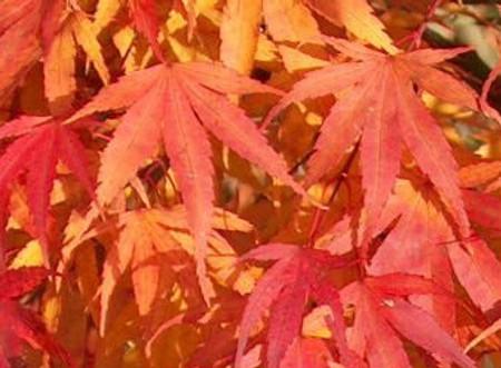 Acer palmatum Arakawa Rough Bark Japanese Maple Tree