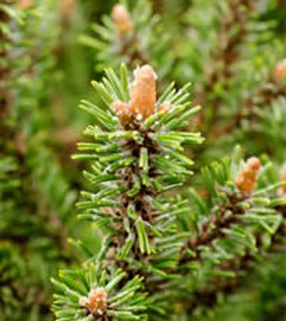 Pinus mugo Pauls Dwarf Dwarf Mugo Pine
