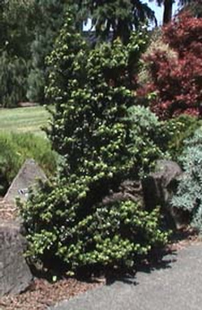Ilex crenata Dwarf Pagoda Miniature Japanese Holly