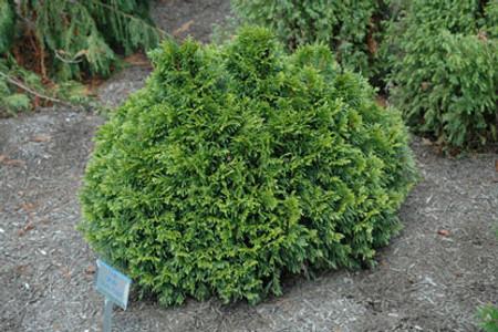 Thuja plicata Grune Kugel Dwarf Western Red Cedar