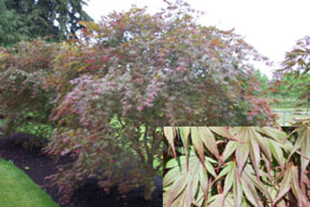 Acer palmatum Kinran Japanese Maple Tree