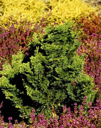 Chamaecyparis obtusa ' Nana Gracilis ' Dwarf Hinoki Cypress