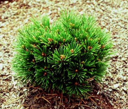 Pinus leucodermis heldreichii Smidtii Miniature Bosnian Pine