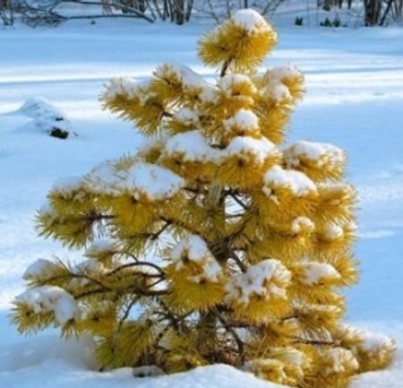 Pinus contorta Chief Joseph Golden Shore Pine