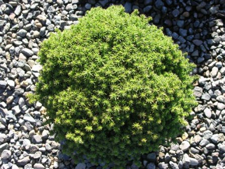 Cryptomeria japonica Compressa Dwarf Japanese Cedar