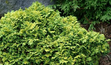 Chamaecyparis pisifera Gold Pin Cushion Miniature Sawara Cypress