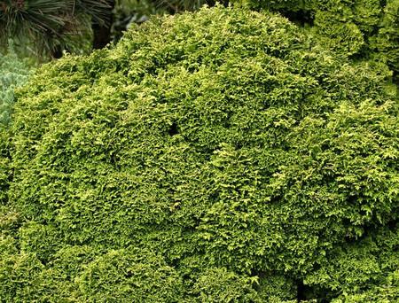 Chamaecyparis pisifera Tsukumo Miniature Sawara Cypress