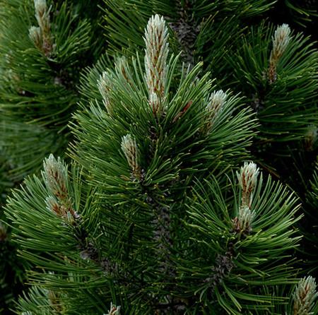 Pinus leucodermis heldreichii Mint Truffle Dwarf Bosnian Pine