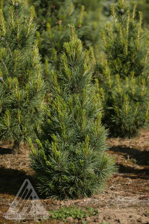 Pinus cembra ' Blue Mound ' Dwarf Blue Swiss Stone Pine