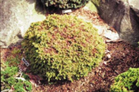 Cryptomeria japonica Tenzan Miniature Japanese Cedar