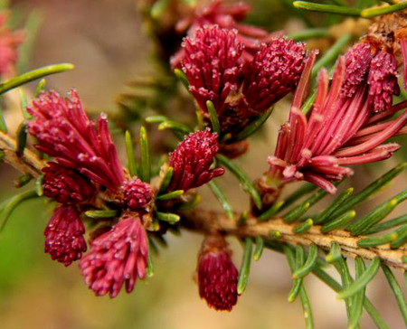 Picea abies Cruenta Spring Red Norway Spruce