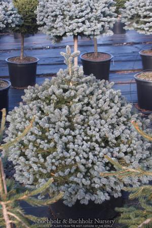 Picea pungens ' Kluis ' Dwarf Blue Colorado Spruce
