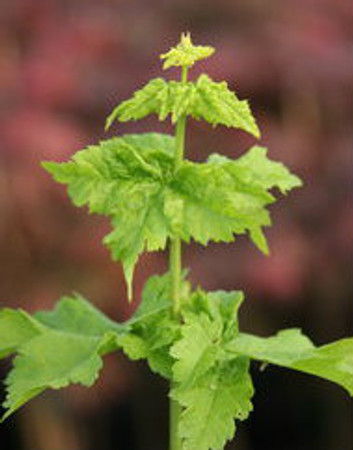 Acer circinatum Pacific Sprite Vine Maple