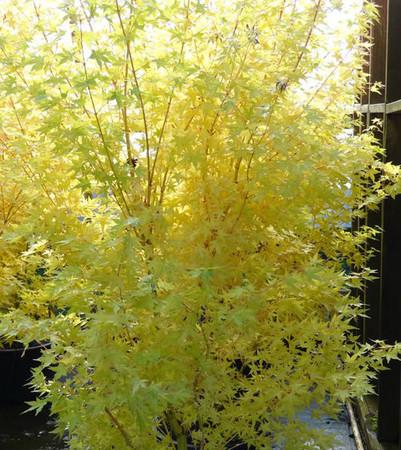 Acer palmatum Bihou Coral Yellow Bark Japanese Maple Tree