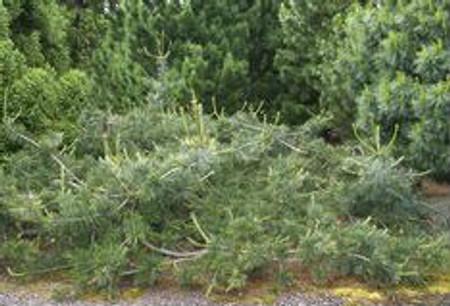 Pinus flexilis Glauca Pendula Spreading Limber Pine Tree