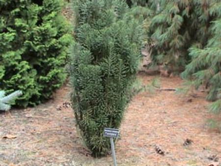 Cephalotaxus harringtonia ' Fastigiata ' Columnar Japanese Plum Yew