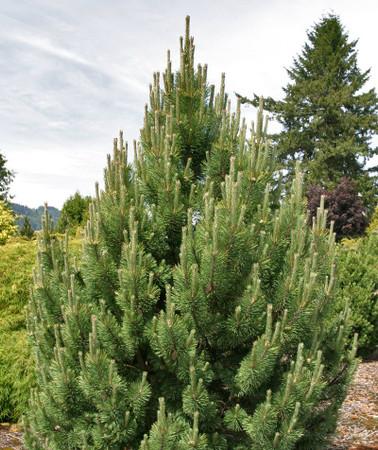 Pinus mugo Tannenbaum Upright Mugo Pine