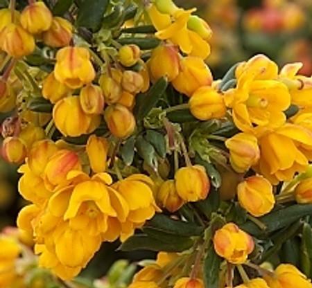 Berberis x stenophylla ' Corallina Compacta ' Miniature Hybrid Barberry