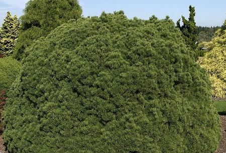 Pinus mugo Mops Dwarf Pine