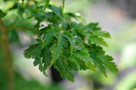 Acer palmatum Crispum Japanese Maple