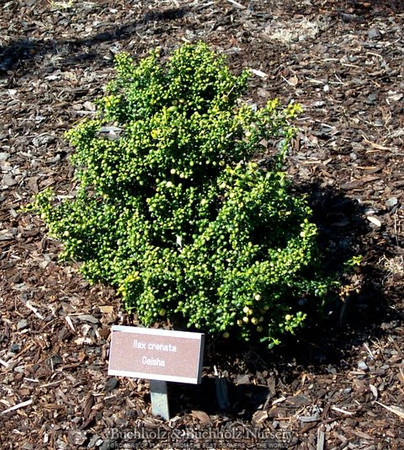 Ilex crenata Geisha Dwarf Japanese Holly