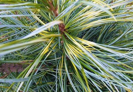 Oculus Draconis Variegated Korean Pine