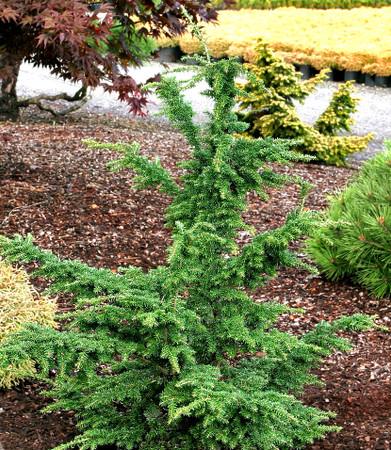 Tsuga heterophylla Iron Springs Upright Western Hemlock
