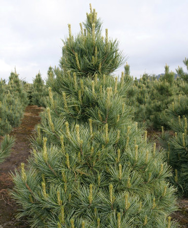 Pinus cembra Westerstede Dwarf Upright Swiss Stone Pine