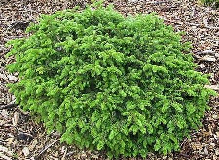 Picea abies Elegans Dwarf Spreading Norway Spruce