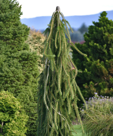Picea abies Cobra Weeping Creeping Norway Spruce