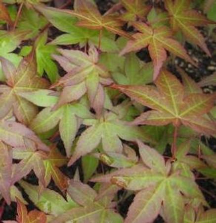 Acer palmatum Corallinum Japanese Maple Tree