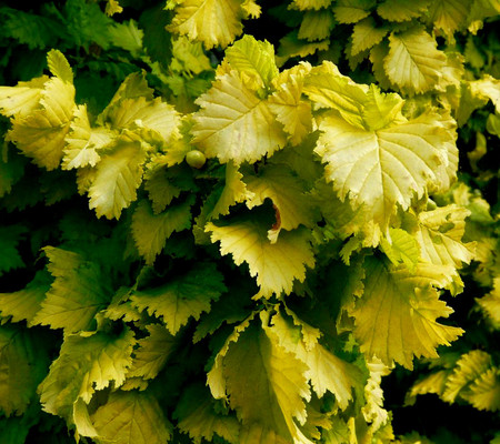 Ulmus x hollandica  Wredei Golden Elm Tree
