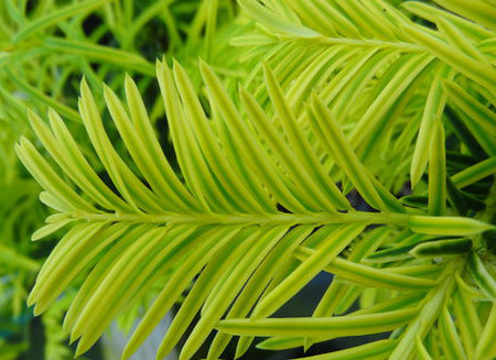 Golden Yew