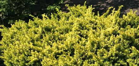 Taxus cuspidata Nana Aurescens Dwarf Golden Japanese Yew