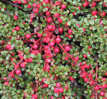 Cotoneaster dammeri Streib's Findling Low Growing Cotoneaster