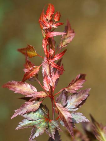 Acer palmatum Beni hagoromo Red Angel's Robe Japanese Maple Spring Growth