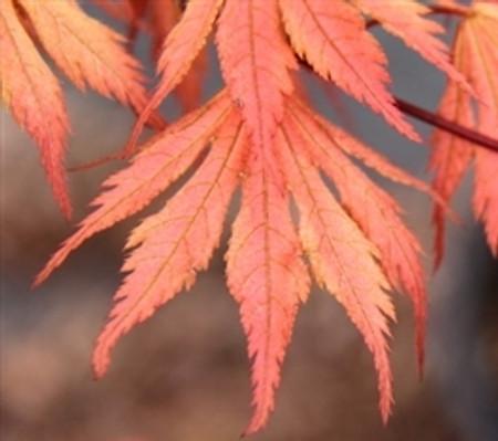 Acer palmatum Ariadne Japanese Maple Tree