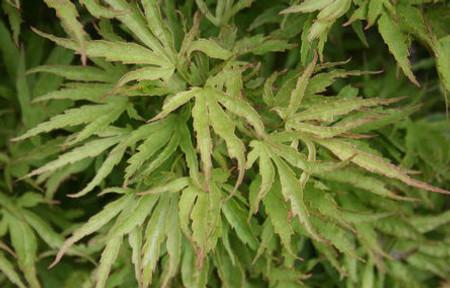 Acer palmatum Dr Suess Dwarf Japanese Maple