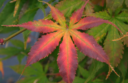 Acer palmatum Grandma Ghost Variegated Japanese Maple