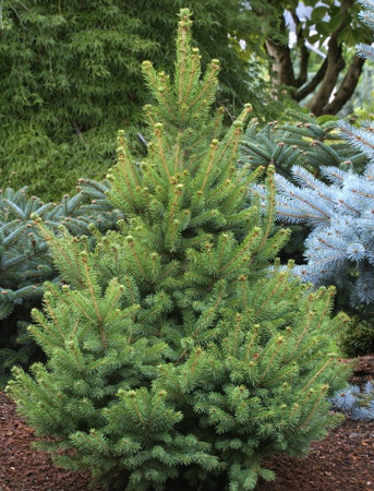 Picea glauca North Star Upright Narrow White Spruce