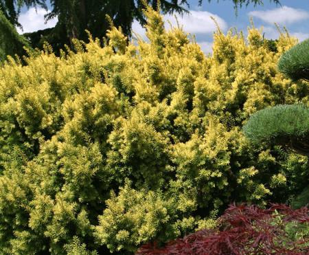 Taxus cuspidata Dwarf Bright Gold Dwarf Golden Japanese Yew