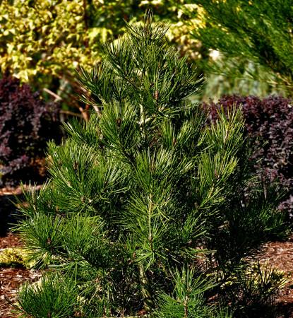 Pinus bungeana Rowe Arboretum Compact Chinese Lacebark Pine