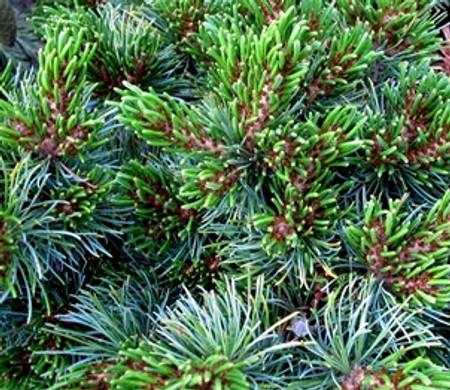 Pinus parviflora ' Catherine Elizabeth ' Dwarf Japanese White Pine