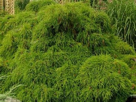Chamaecyparis pisifera ' Filifera' Dwarf False Cypress