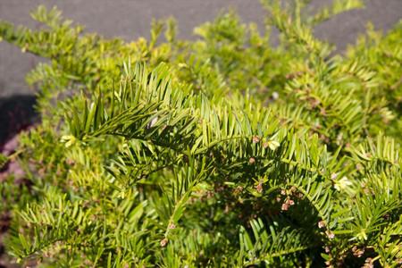 Cephalotaxus harringtonia Prostrata Dwarf Spreading Japanese Plum Yew