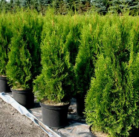 Thuja occidentalis ' Smaragd ' Columnar Eastern Arborvitae