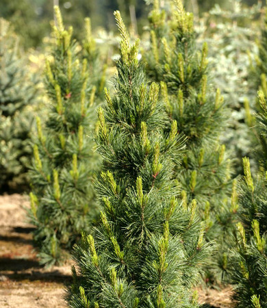 Pinus cembra Algonquin Pillar Columnar Swiss Stone Pine