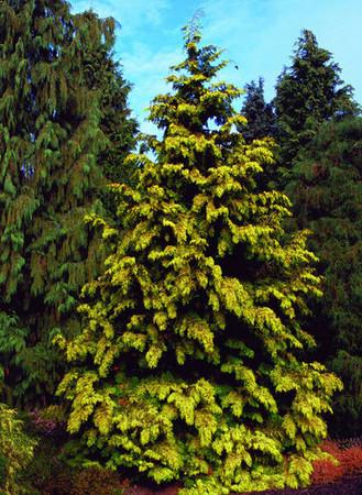Thuja plicata Zebrina Extra Gold Golden Western Red Cedar